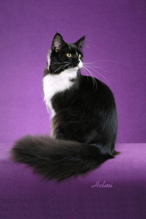 Faith random bred cat black and white cat