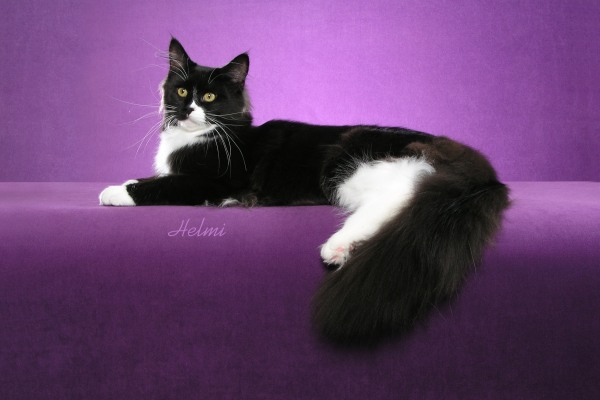 Faith lying down. She is a black and white moggie cat.