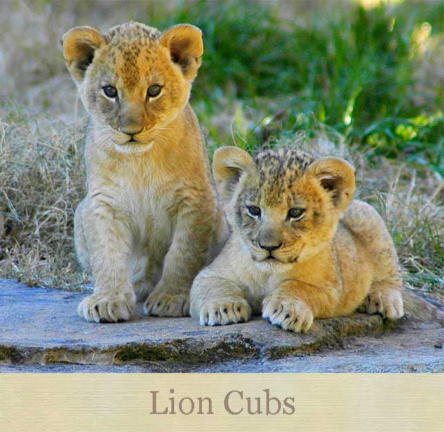 Lion cubs (these are not the actual cubs).