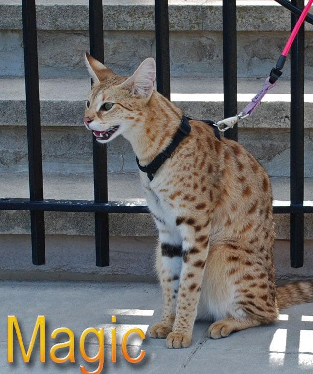 F1 Savannah cat Magic