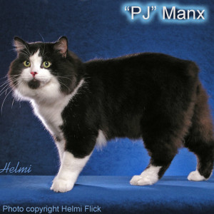 Manx cat black and white cat
