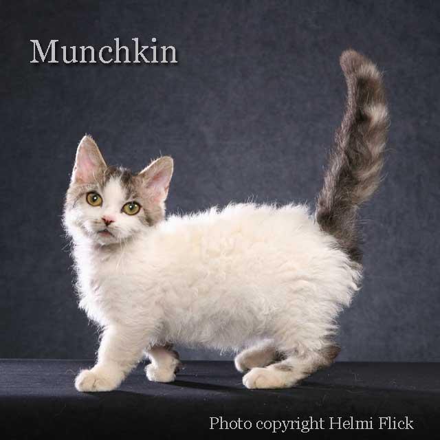 Munchkin Cat Poc