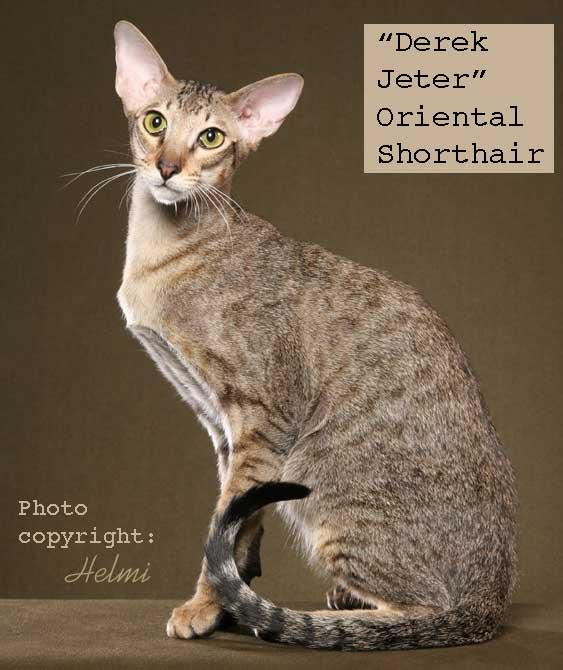 Oriental Shorthair