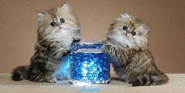 Persians kittens