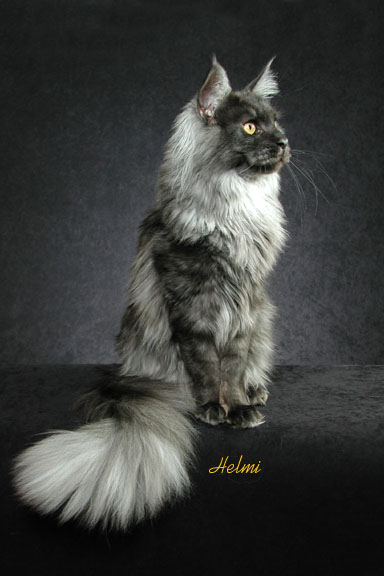 Quin a black smoke Maine Coon cat