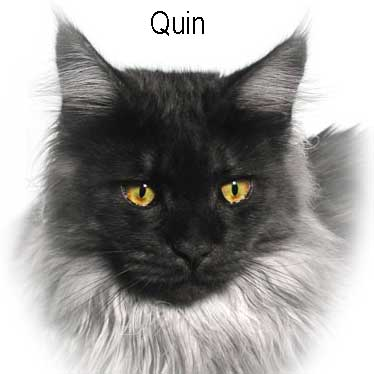 Black Smoke Maine Coon QUIN