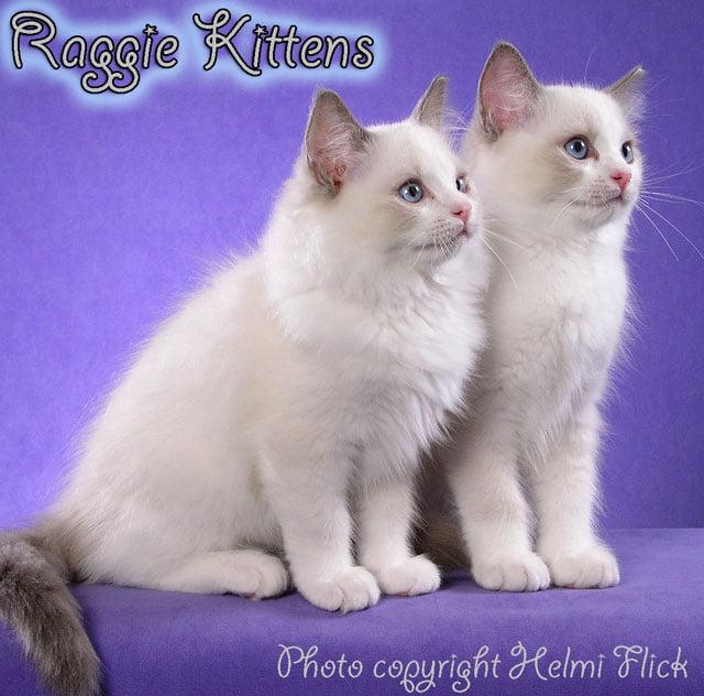 Raggie Kittens