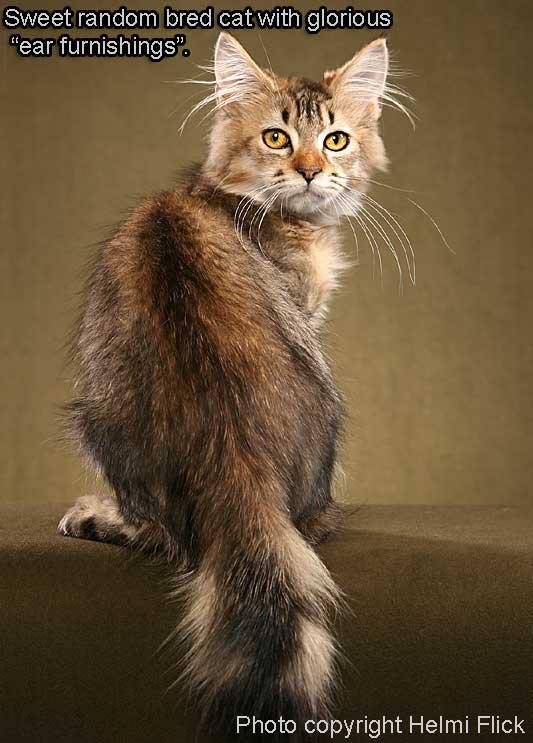 Random bred cat with hairy ears
