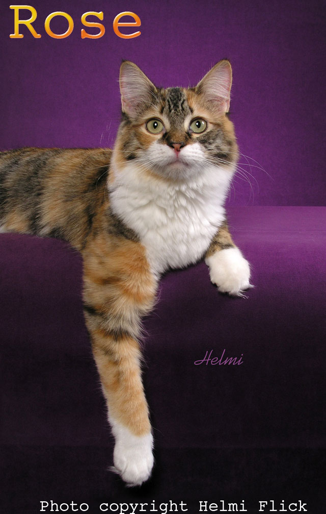 Rose calico cat