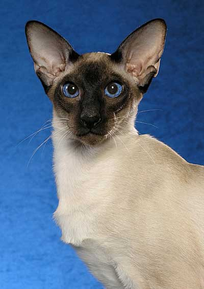 Modern Siamese. Photo: copyright Helmi Flick.