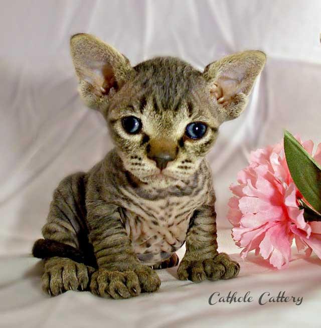 Super cute Minskin kitten