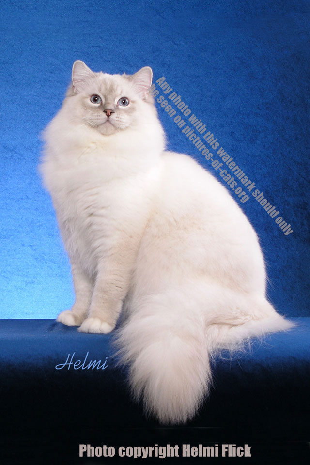 Ragdoll Cat Jumbo - the world's cuddliest cat!
