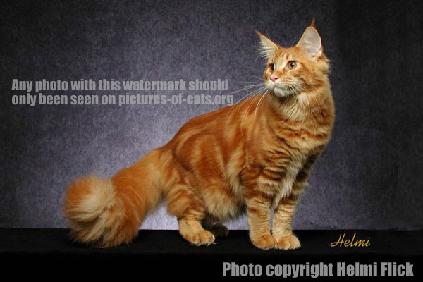 Ginger tabby Maine Coon cat