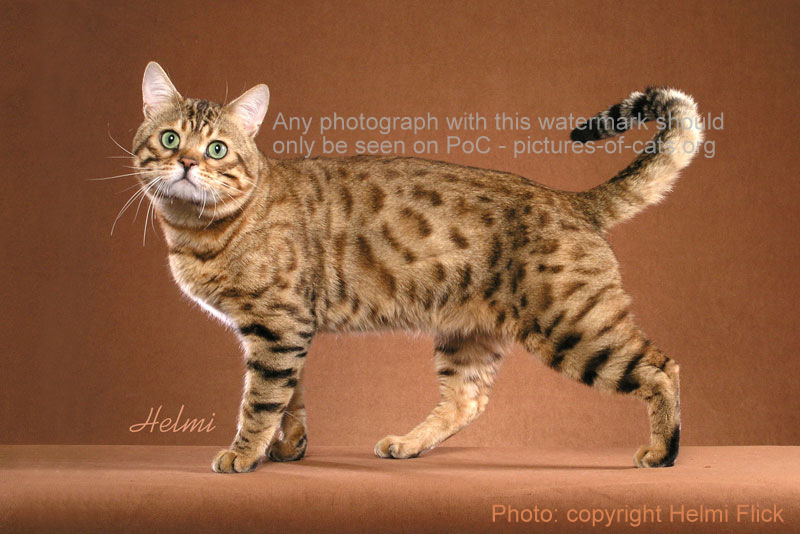 Bengal cat Ruba