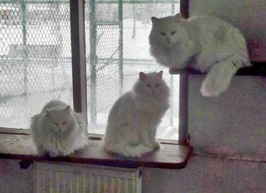Turkish Angora Cat, Ankara Zoo, Turkey - Photo: copyright Angora Cat Association.