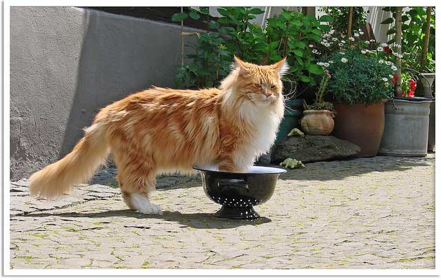Big ginger tabby maine coon cat
