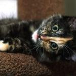Black Tortoiseshell Kitten with Blaze