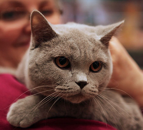 British Shorthair show cat