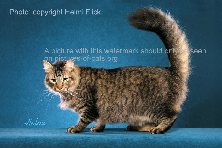 Beautiful random bred cat with superb tail photo by Helmi Flick