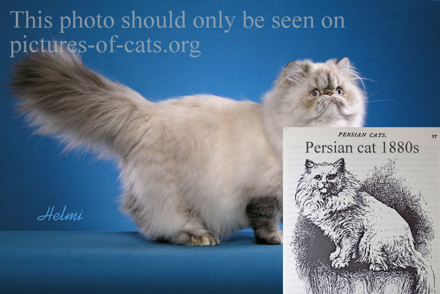 Photographic comparison of old fashioned Persian cat and modern Persian cat