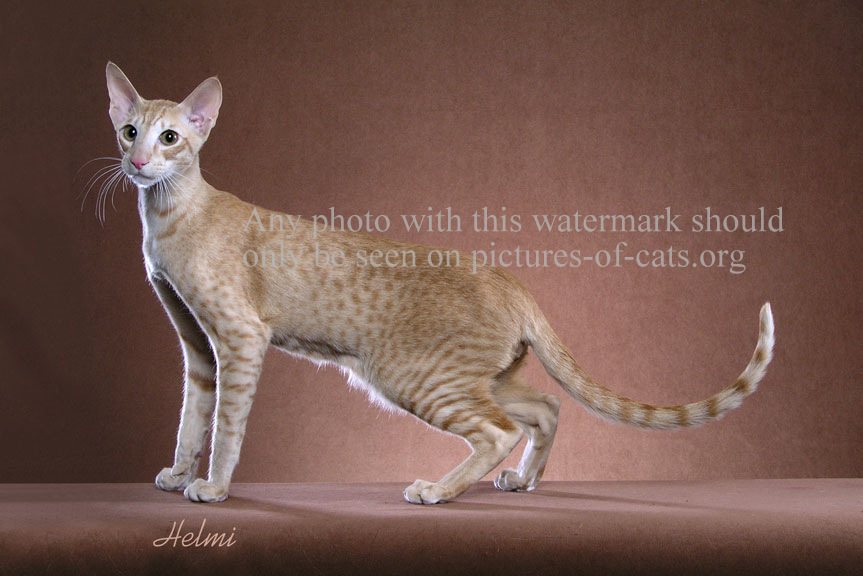 Spotted Oriental Shorthair Cat