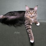 Tabby and white Maine Coon