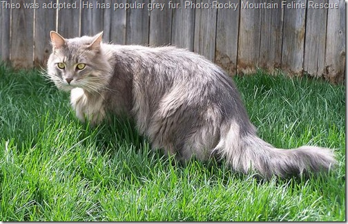 Theo an unwanted adopted grey stray cat with long hair