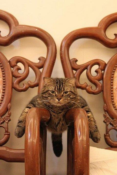 cat lying across two chair arms resting