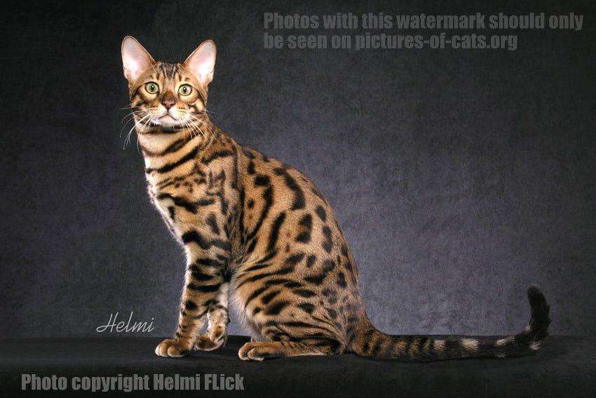 Bengal Cat MoMo Sitting