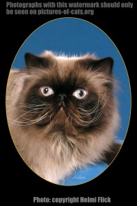 "Himalayan Cat ""Larry"" with the Dali Whiskers"