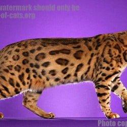 Bengal Cat Cruiser