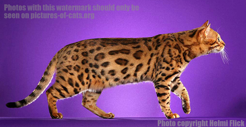 Bengal Cat Cruiser