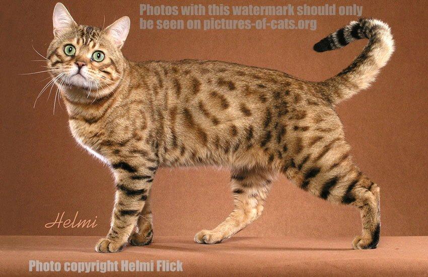 Bengal Cat Picture