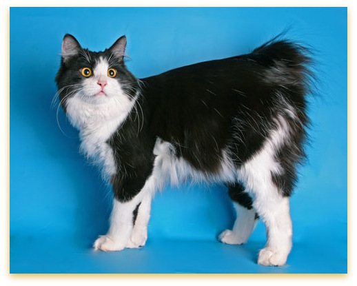 Black and white Kurilian Bobtail cat - Russian bred. Name: Kitty Shel Asterix