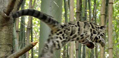 Clouded leopard showing tail