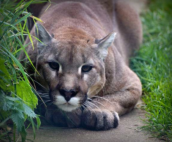Cougar in a UK wildlife park