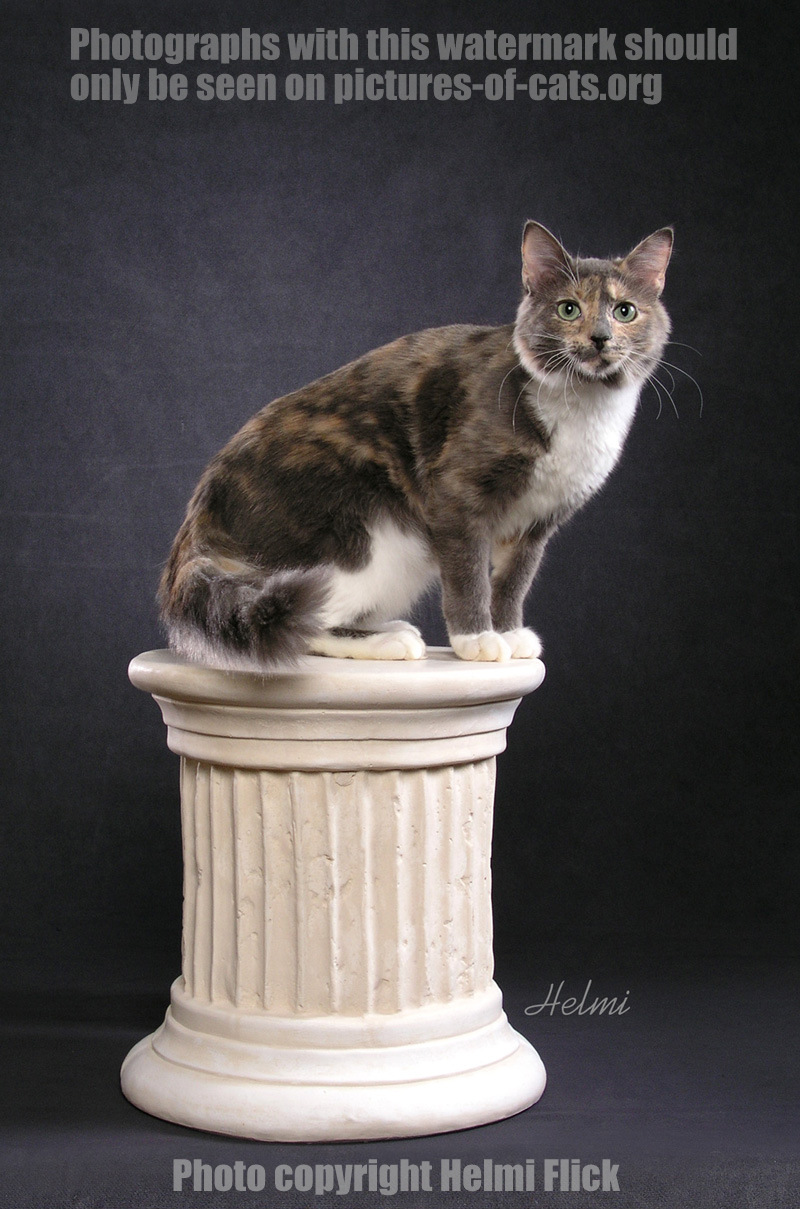 Dilute Calico Cat Lance