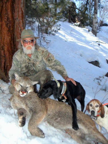 Hunting Puma with Hounds