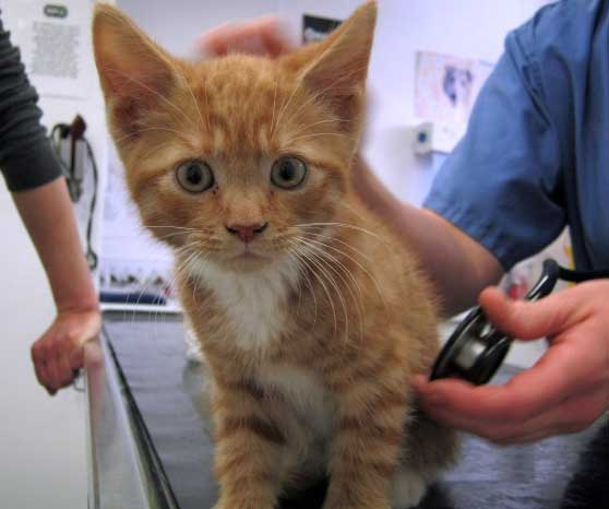 Kitten in veterinarian's surgery getting ready for a vaccination.