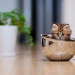 Little teacup kitten