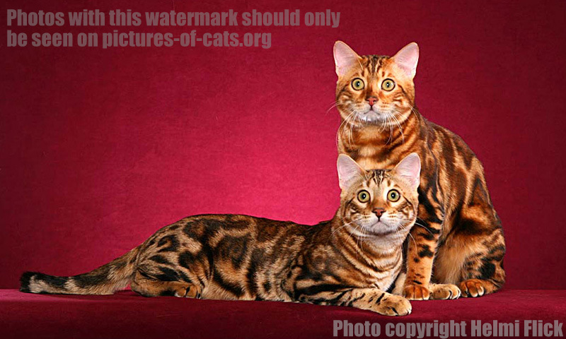 Two Marbled Bengal Cats