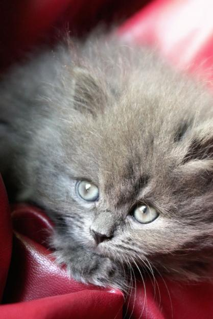Shirazi Kitten For Sale Dubai