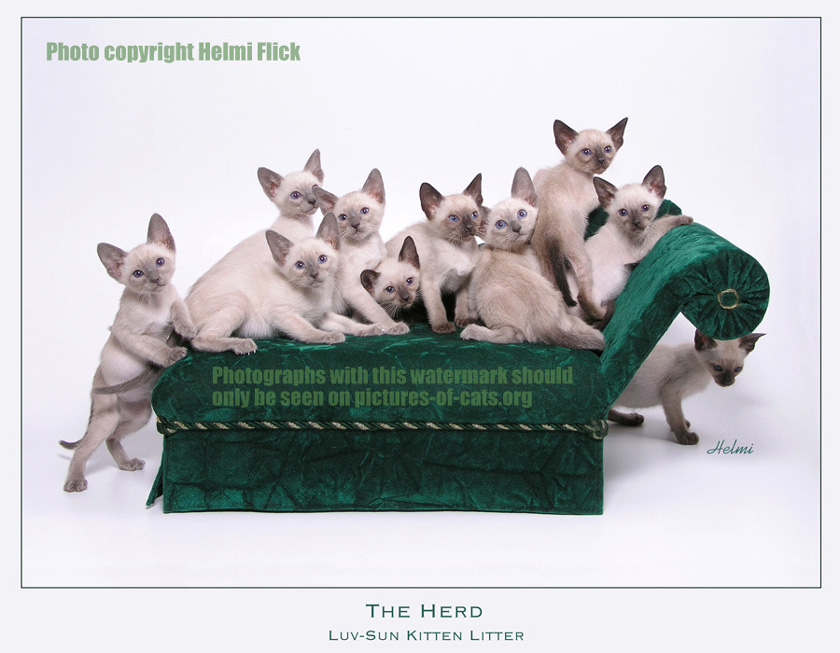 Eleven Siamese kittens in a studio photograph