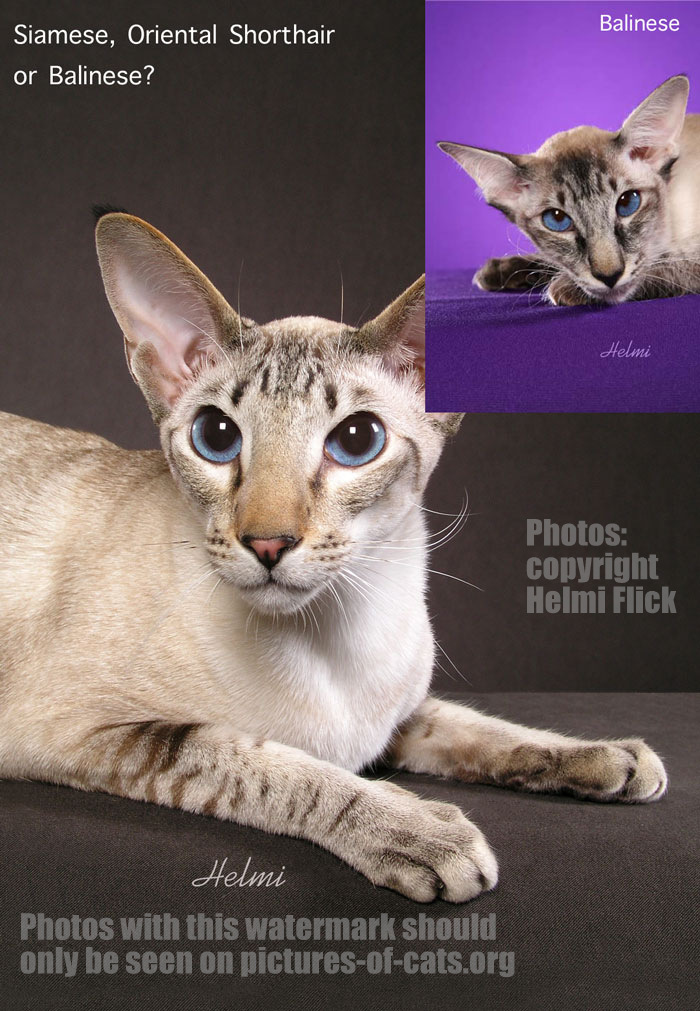 Siamese oriental shorthair balinese cats