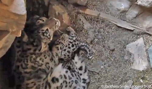 Snow leopard and her two cubs in Mongolian den. Still from video
