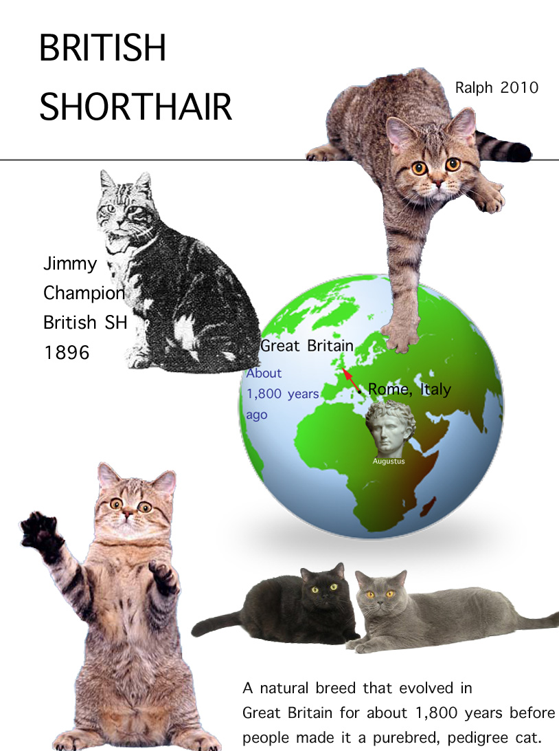 British Shorthair Facts For Kids