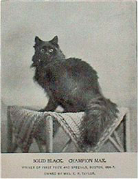 Maine Coon cat From Late 1800s