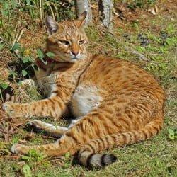 Sabini F1 Safari Cat