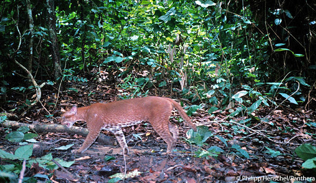 Famous Camera Trap Photo of African Golden Cat