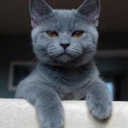 Classic Blue Cat